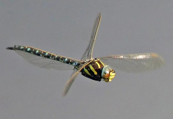 Dragonfly flying 5
