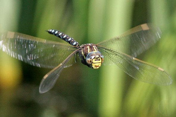 Dragonfly flying 1
