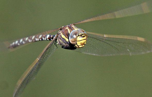 Dragonfly flying 2