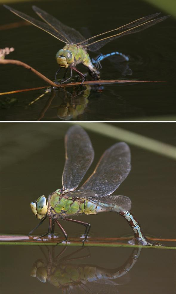Dragonfly Emperor - female