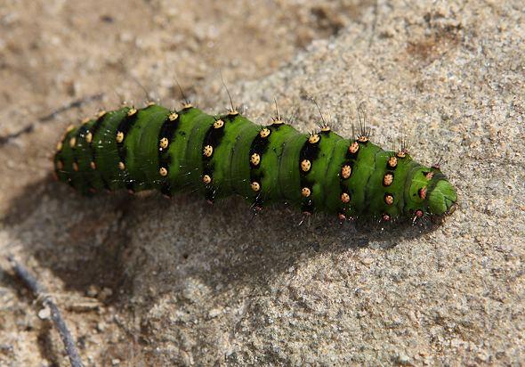 Emperor Moth caterpillar