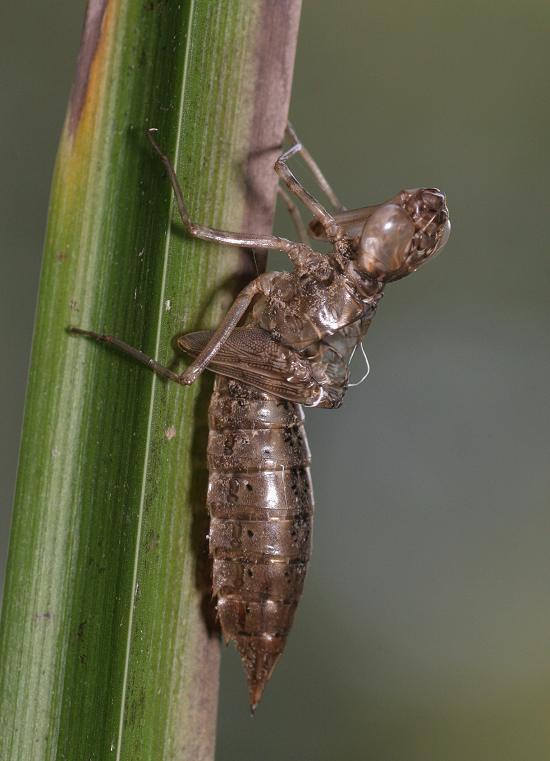 Dragonfly exuvia 1
