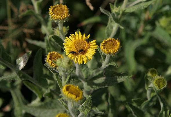 Fleabane - Common