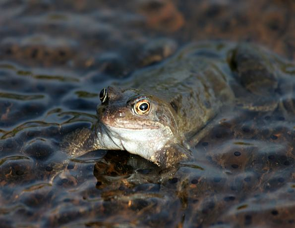 Frog - Common