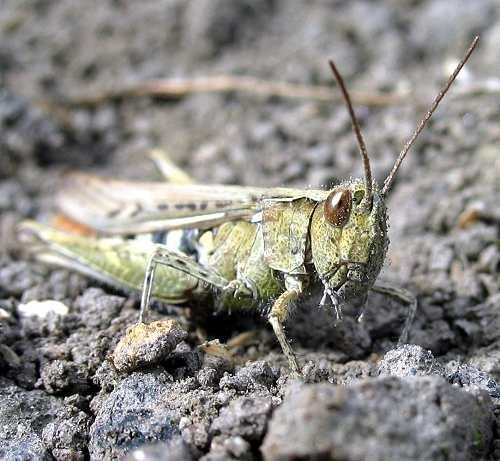 Grasshopper - Common Field