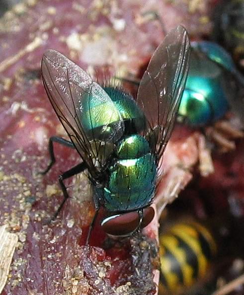 Fly - Green Bottle