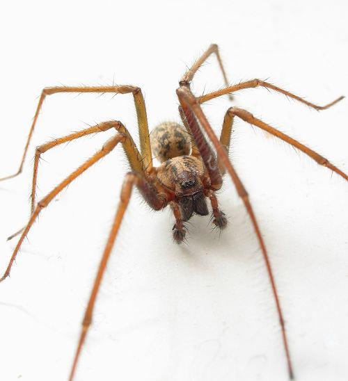 House Spider