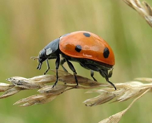 Ladybird - 7 spot