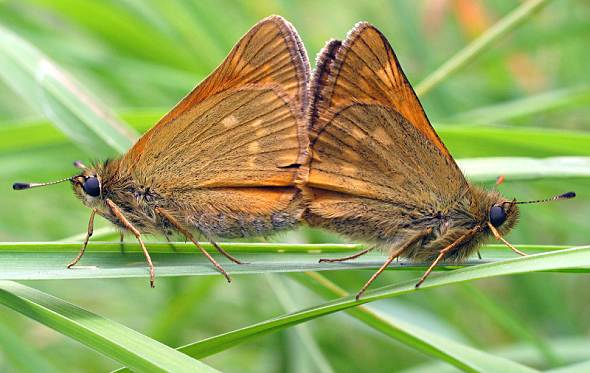 Large Skipper (mating)