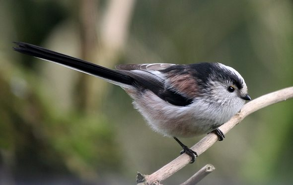 Long - tailed Tit