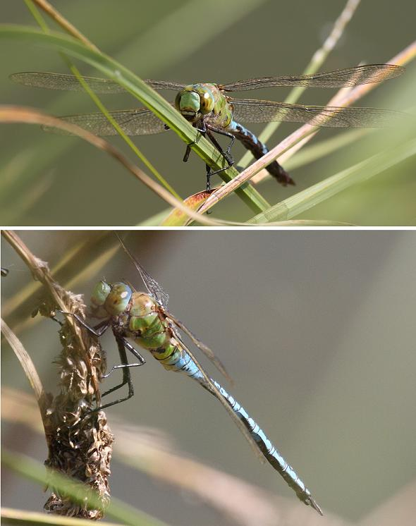 Dragonfly Emperor - male