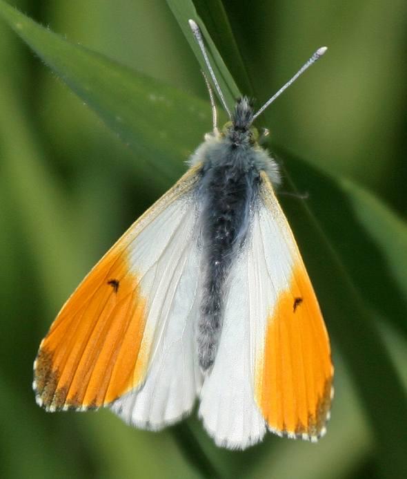 Orange-Tip (Male)