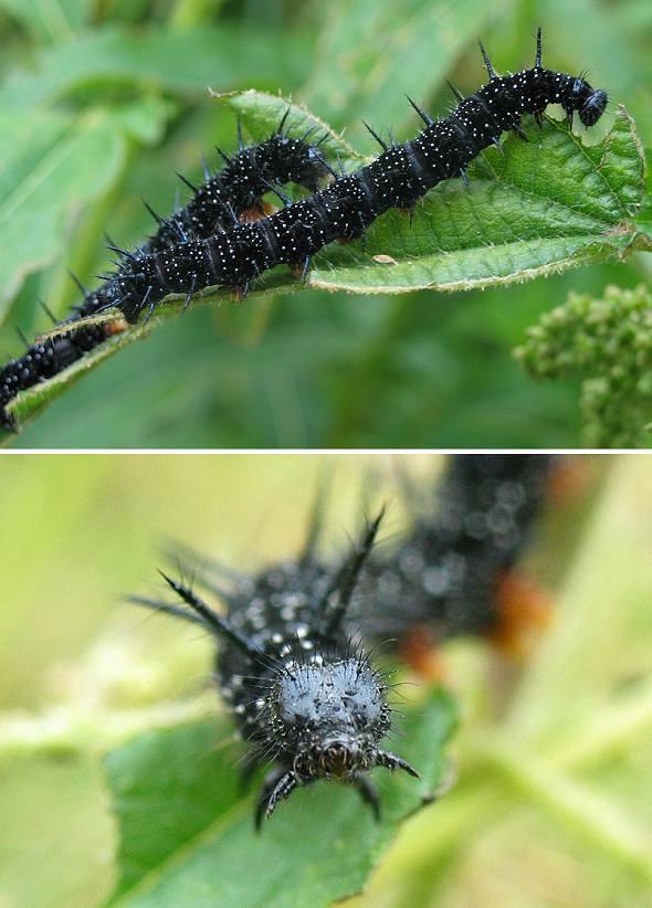 Peacock - caterpillar
