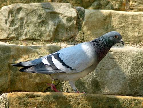 Pigeon - feral