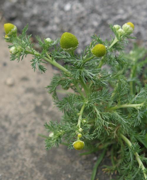 Pinappleweed