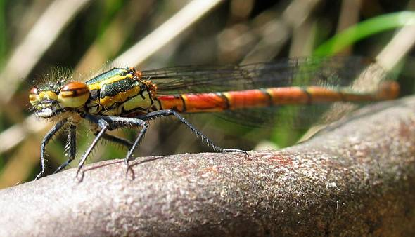 Damselfly - Large Red female