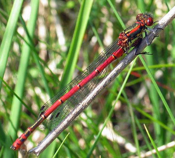 Damselfly - Large Red male