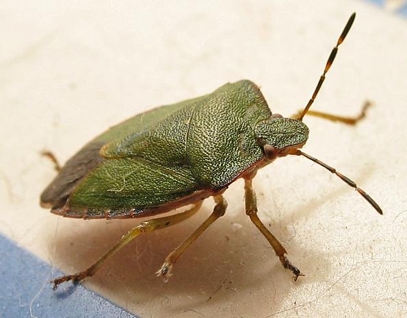 Hawthorn Shield Bug