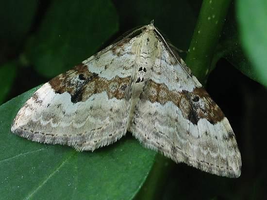 Moth - Silver Ground Carpet