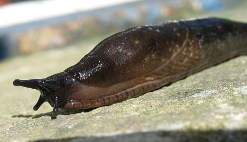 Slug, Common Garden