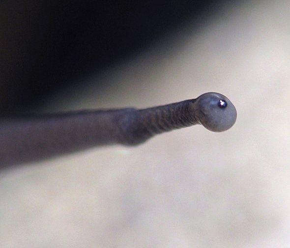 Snail, Garden - antenna