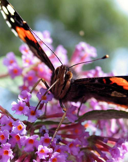 Red Admiral, feeding