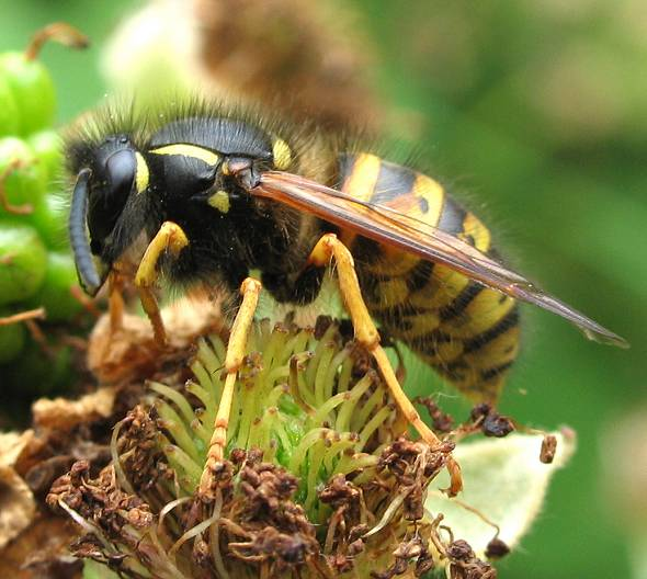 Wasp - common