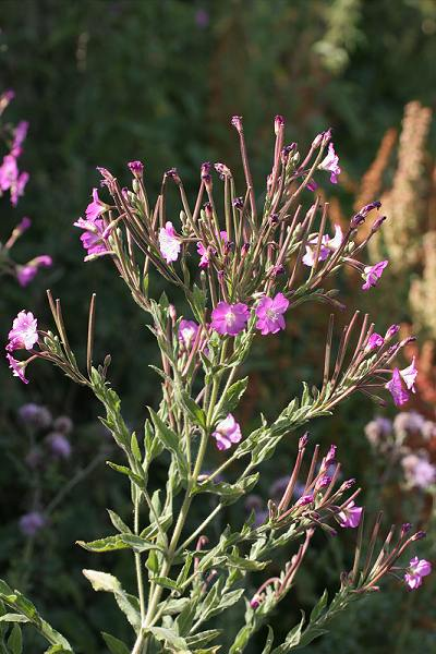 Willowherb - Great