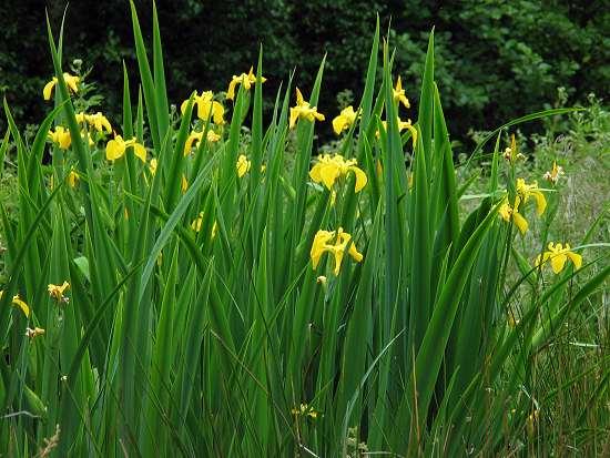 Iris - Yellow