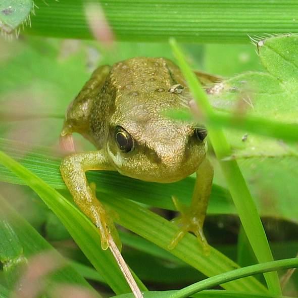 Frog - juvenile
